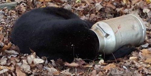 Seperti Winnie The Pooh, kepala beruang ini tersangkut di botol susu. Sangat tersiksa sekali keadaannya.