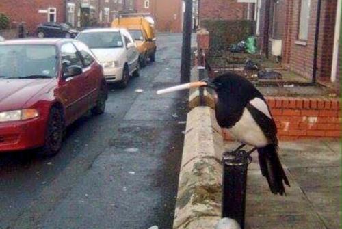 Burung magpie ini tengah asyik ngemut rokok di paruhnya, tanpa memedulikan arus lalu lintas di Jalan Mancheter, Inggris.