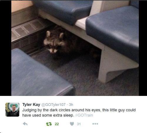 Petugas GO Transit, Tyler Kay langsung mengunggah foto rakun ke dalam akun twitternya.
