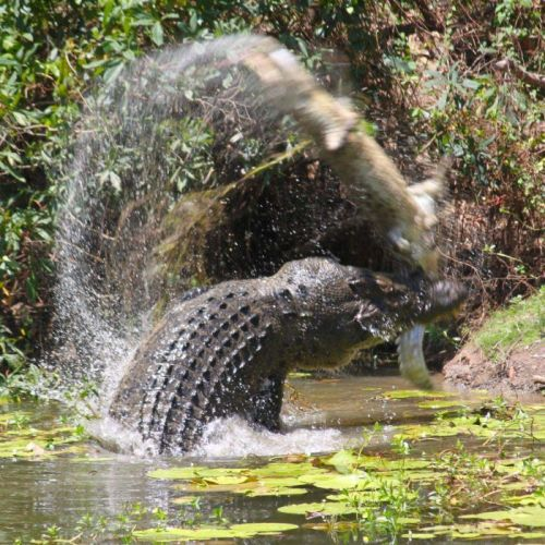 Croc makan buaya : Foto menunjukkan perjuangan reptil kematian di Queensland hamparan - ABC News ( Australian Broadcasting Corporation )