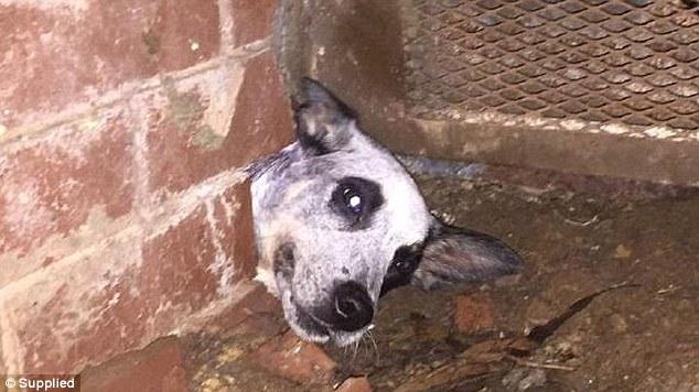 Kepala anjing dalam kondisi terjepit dinding tembok sebelum petugas pemadam kebakaran berhasil melepaskan jepitan.