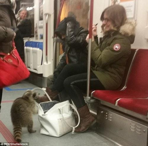 Sebelum diisolasi, rakun menyelinap di antara kaki penumpang kereta komuter dan berusaha sembunyi di bawah tempat duduk penumpang.