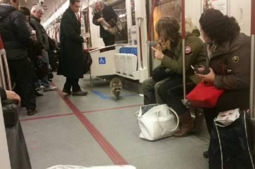 Hitches rakun naik Toronto kereta bawah tanah , komuter menerimanya dengan tenang - Toronto | Globalnews.ca