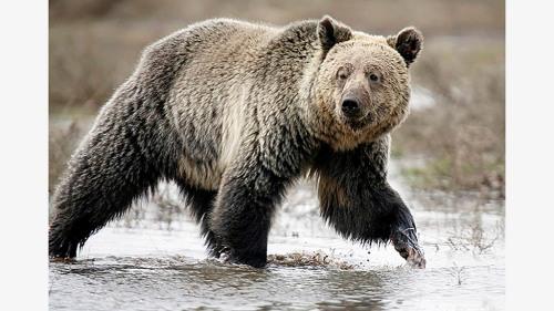 Seekor beruang grizzly menjelajahi Lembah Hayden di Taman Nasional Yellowstone, Wyoming, 18 Mei 2014