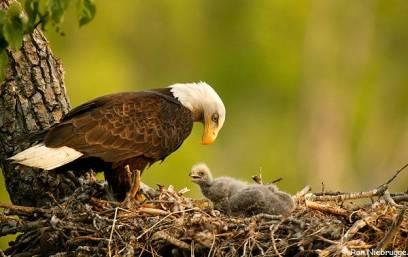 Induk elang dengan setia menunggui anaknya yang baru lahir di sarangnya.