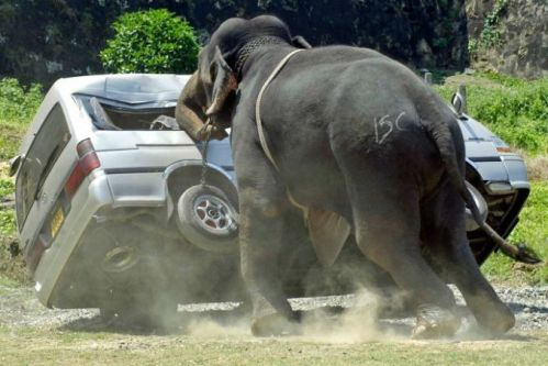 """Penggunaan gajah pada turnamen polo di Galle sudah dihentikan sejak 2007. Saat itu turnamen diwarnai insiden di mana salah satu gajah mengamuk dan merusak beberapa mobil penonton. """"Kami senang tuk-tuk bisa menggantikan gajah. Gajah hanya menjadi sasaran perilaku kejam di acara ini,"""" kata seorang aktivis perlindungan hewan Sri Lanka, Sagarika Rajakarunanayake."""