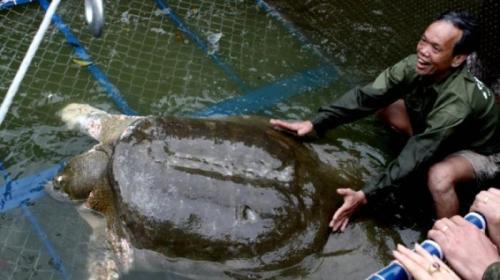 Rakyat Vietnam Tengah Berkabung, Karena Kura-kura ini Mati karena usia tua dan mulai sakit-sakitan setahun terakhir ini.