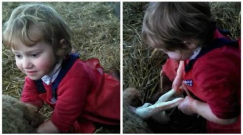 Lilly (3) membantu proses kelahiran seekor anak domba. (Sumber Wales Online)