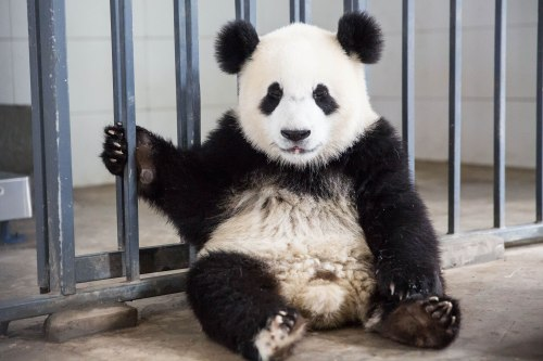 Chessington World of Adventures iklan pekerjaan bagi seseorang untuk menjadi panda | Metro Berita