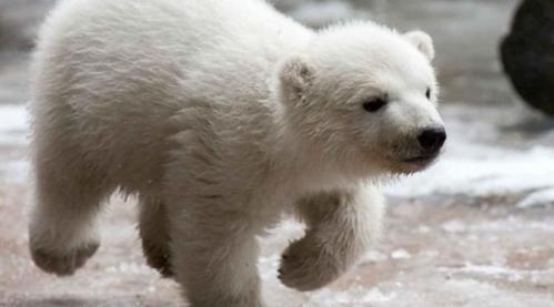 Siapa yang tak akan tahan dengan tingkah lucu seekor bayi beruang kutub? Apa lagi melihat yang satu ini di Kebun Binatang Toronto, Kanada. Bulan lalu, bayi beruang kutub ini baru saja mendapatkan nama. Juno menjadi pilihan nama paling tepat untuk beruang kecil yang lincah ini.