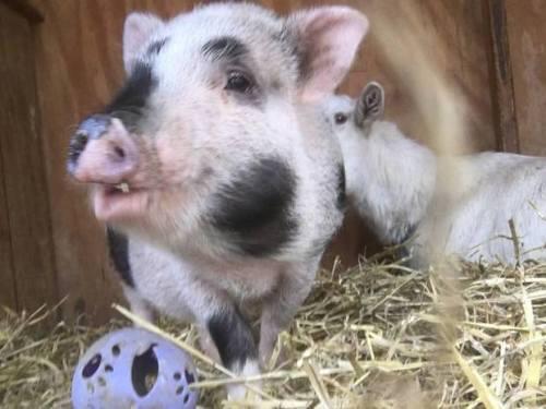 Cherry babi itu diambil oleh Barnyard Sanctuary di Knowlton Township setelah dia ditemukan di Interstate 80 di Warren County. Babi takut terpikat untuk keselamatan dengan strudel ceri , maka nama itu.