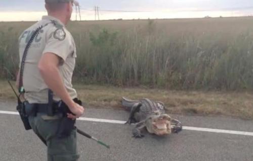 "Florida Fish dan petugas Komisi Wildlife membantu membimbing gator 10 kaki dari jalan raya Florida. The "" pemarah "" gator dapat dilihat gertakan dan mendesis di petugas di video yang diambil oleh Jim Leljedal.Screen menangkap Jim Leljedal / Facebook"