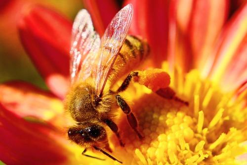 Lebah madu pada krisan liar . Foto : Toshihiro Gamo , Creative Commons , beberapa rights reserved.