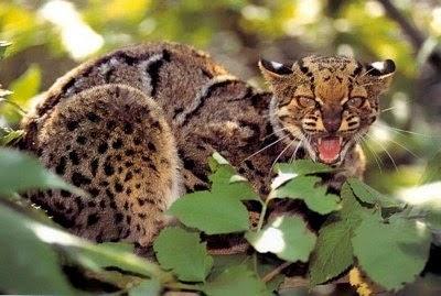 Kucing marmer atau dalam bahasa Inggris disebut marbled cat dengan nama latin Pardofelis marmorata, adalah kucing liar dari Asia selatan dan Asia tenggara. Wilayah persebaran kucing hutan ini mulai dari Asia selatan di Nepal dan India, terus ke Asia Tenggara hingga pulau Sumatera dan kalimantan.