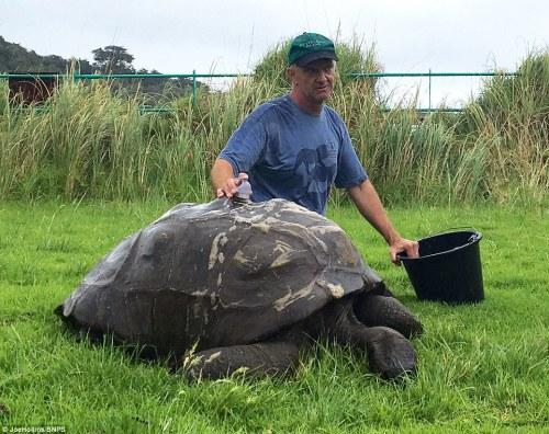 Jonathan kura-kura raksasa telah keluar dari cangkangnya setelah berabad-abad kotoran yang susah payah