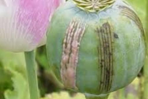 Ilustrasi Opium untuk bumbu masakan. Sebanyak 35 restoran di Cina terbukti menggunakan opium sebagai bumbu masak, Jumat (22/1). Pejabat Cina mengatakan penggunaan opium adalah ilegal.