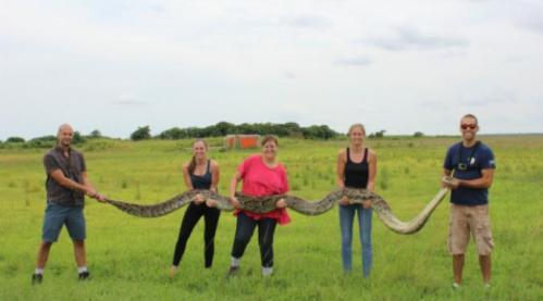 """Menangkap """"ular raksasa"""" sepanjang hampir 6 meter tentu saja bukan pekerjaan yang mudah. Setelah bergumul beberapa saat dan akhirnya dibantu oleh warga sekitar, akhirnya pemuda berusia 23 tahun tersebut berhasil reptil yang di Florida dianggap sebagai salah satu masalah serius."""
