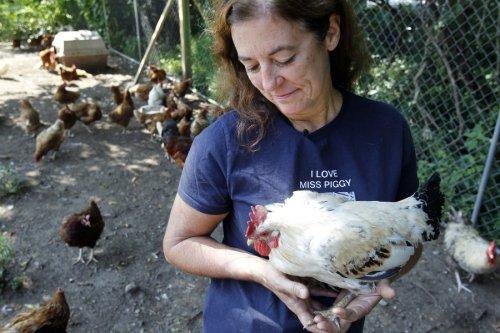 Tamala Lester berjalan The Barnyard Sanctuary , tempat penampungan untuk hewan peliharaan pertanian , di Columbia . Lester mengambil di sekitar 20 ayam jantan sebagai bulan ; hanya tiga yang diadopsi setiap tahun . ( Ed Murray / The Star - Ledger )