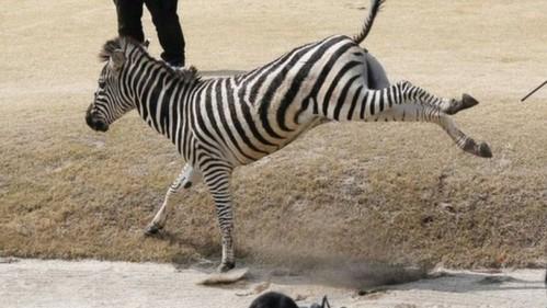 Sebuah zebra yang lari dari klub berkuda di Jepang telah meninggal di sebuah danau golf .