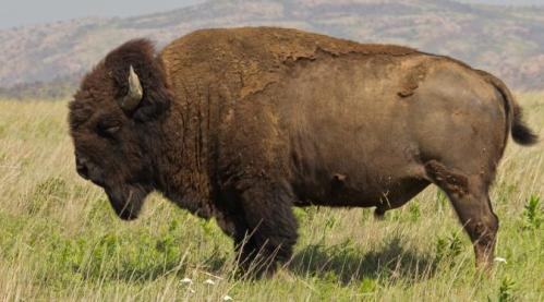 Hampir punah, kini akhirnya bison telah resmi dinyatakan sebagai mamalia nasional Amerika Serikat (AS).