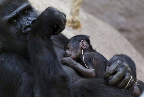 Kehamilan Shinda kali ini mengejutkan pihak Kebun Binatang Praha. Saat melahirkan bayi gorila, berharap bayi gorila tumbuh sehat