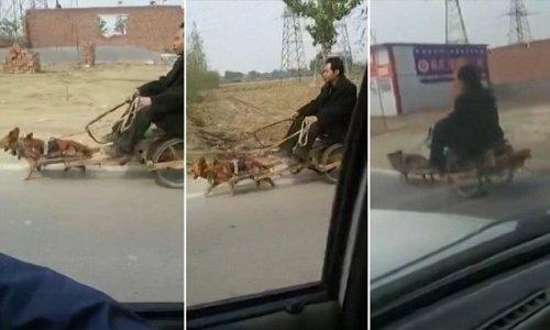 rekaman mengejutkan telah muncul dari anjing kecil menarik bersama seorang pria di sebuah gerobak saat ia melakukan perjalanan sebuah jalan di Cina . Difilmkan di Baoding , Provinsi Hebei