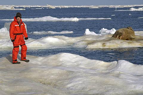 Anjing laut berjalan menuju pria petualang yang sedang