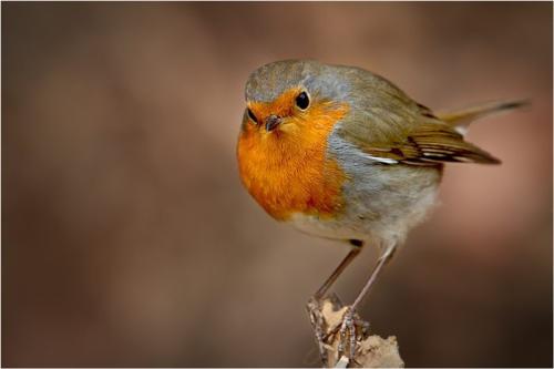 Terutama mengenai kondisi cuaca, burung Robin sangat sensitive terhadap perubahan cuaca. Ia lebih menyukai berada dalam lingkungan yang sejuk dan teduh. Berada di lingkungan dengan kondisi cuaca yang panas dapat memperpendek umur burung Robin. Karena habitatnya berada di kawasan Eropa, burung Robin yang hidup pada kawasan ini dikenal dengan nama Robin Eropa (european robin) yang memiliki nama latin Erithacus rubecula.