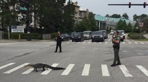 Alligator berhenti lalu lintas dan menggunakan zebra persimpangan berjalan seperti itu normal Inilah yang terjadi di Florida ketika buaya panjang lima kaki memutuskan untuk menyeberang jalan . Source: Facebook/ Flagler County Sheriff's Office.