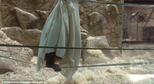 Monyet nakal memiliki banyak bersenang-senang berayun sekitar pada tali ditonton oleh pengunjung yang melihat apa yang dia lakukan di dalam kandang nya