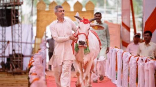 Para juri menyeleksi 18 pemenang dalam berbagai kategori. Para peternak dari 21 distrik di Haryana antusias mengikutkan sapi-sapi mereka dalam kontes. Ratusan sapi mengikuti kontes kecantikan di Rohtak, India, pada Sabtu (7/5/2016).