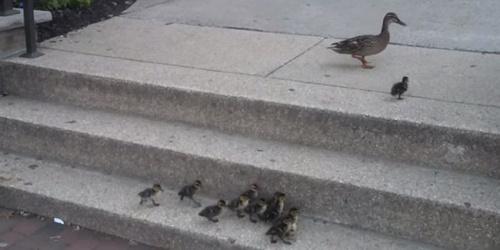 Lihat bagaimana induk bebek tersebut mengajari anak-anaknya untuk berusaha sendiri sampai mereka bisa. Kalau terus-terusan dibantu, mereka akan selalu bergantung pada induknya dan tak pernah belajar. Kalau terus-terusan mengandalkan induknya, mereka tak akan mengasah kemampuan yang mereka miliki sendiri.