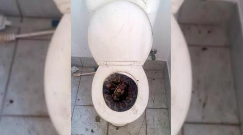Si reptil jumbo raksasa dilaporkan sempat melarikan diri ke dalam pipa toilet.
