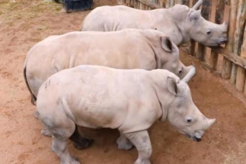 Sebuah trio badak bayi yatim mengeluarkan serangkaian bernada tinggi menangis setelah mereka kehabisan susu . Kelompok ini membiarkan pengasuh mereka di sebuah penampungan penyelamatan Afrika Selatan tahu bahwa mereka marah bahwa waktu makan telah berakhir . Mereka dibawa ke Afrika liar Rhino Sanctuary setelah ibu mereka dibunuh oleh pemburu . Screen capture / Bekerja Dengan Badak / YouTube