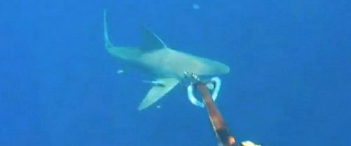 Florida Man Captures Sharks Up Close Under Water on Video
