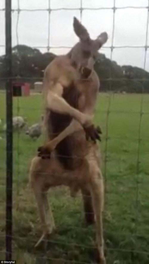 Kanggoro ini melakukan gerakan badan layaknya binaraga sedang memamerkan otot tubuhnya.