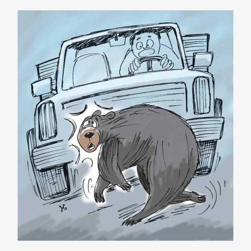 mobil nabrak kangguru