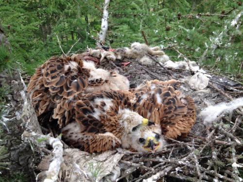 Sekelompok burung pemburu mencuri pakaian dalam (Foto: Angus Glens Moorland Group/Facebook)