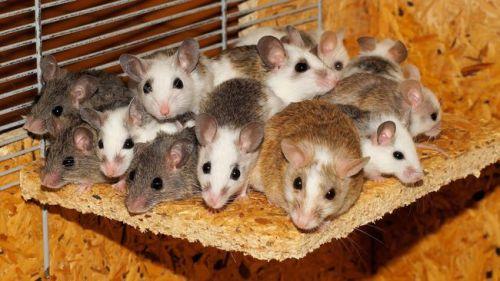 Ilmuwan AS telah mengidentifikasi sejumlah tikus yang direkayasa genetis untuk mengembangkan Zika. Tikus-tikus ini merupakan perangkat penting yang diperlukan untuk menguji vaksin dan obat-obatan guna mengobati virus Zika yang menyebar cepat di Amerika dan Karibia, demikian diberitakan Reuters