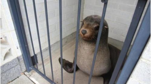 Sammy si anjing laut yang terkunci di toilet wanita. (Devonport City Council)