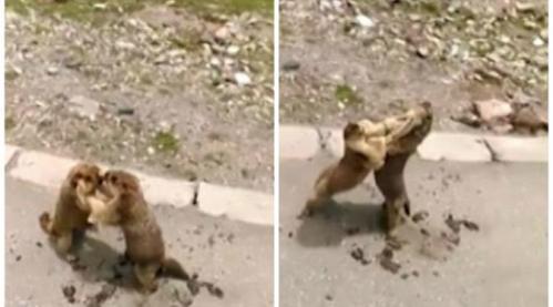 dua marmut berkelahi