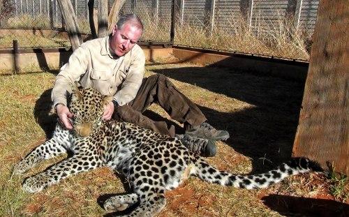 Mari Bermain Serangan Dengan A Spotted Afrika Leopard Cat - Menampilkan Perilaku Fur Pola & Pengayaan . Dolph C. Volker