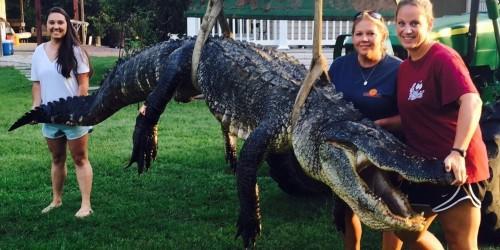 Buaya raksasa dengan berat 311 kilogram dan panjang badan 3,65 meter tak berdaya ketika tubuhnya diangkat Tiffany dan ke-5 timnya.