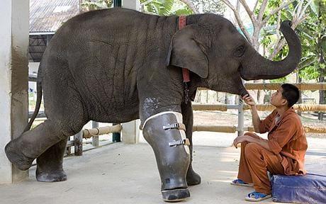 Mosha gajah berjalan di kaki palsu barunya , di Rumah Sakit FAE Gajah di Thailand Foto : BARCROFT