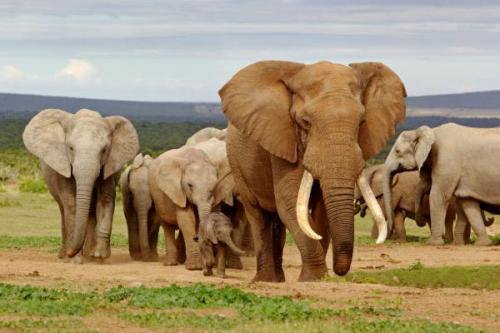 Karena habitatnya diusik manusia, maka Gajah Tanzania tak segan-segan menyatroni kawasan penduduk yang bermukim di sekitar Taman Nasional Tarangire, utara Tanzania. Agar gajah menyingkir masuk kembali ke dalam hutan, maka digunakan bom cabai untuk mengusirnya.