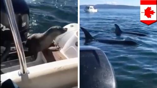 Anjing laut berhasil lolos dari kejaran Paus lalu bersembunyi di mesin boat.