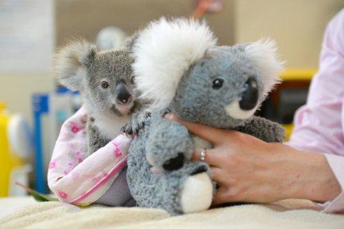 Shayne bayi koala dan boneka koala dibuat seakan-akan induk koala. Foto : Ben Beaden/Australia Zoo.