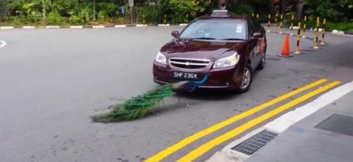 Melihat bayangan dirinya tak seindah aslinya, burung merak ini marah mematuk mobil yang sedang parkir di pinggir jalan.