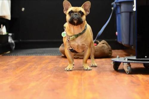Anjing jenis bulldog perancis milik Samntha Clipperton menjadi populer setelah masuk Youtube.