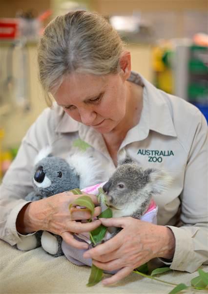 Shayne si bayi koala yang kehilangan induknya, dirawat oleh petugas penyayang binatang di Kebun Binatang Beerwah, Australia.